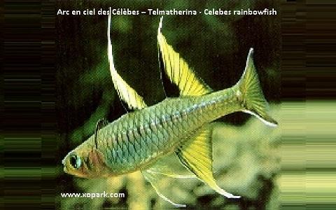 xopark2Arc-en-ciel-des-Célèbes—Telmatherina—Celebes-rainbowfish