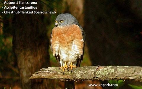 xopark2Autour-à-flancs-roux—Accipiter-castanilius—Chestnut-flanked-Sparrowhawk