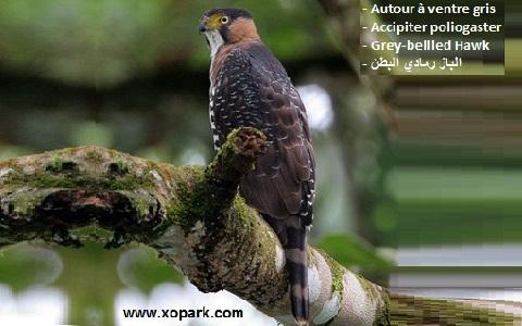 xopark2Autour-à-ventre-gris—Accipiter-poliogaster—Grey-bellied-Hawk