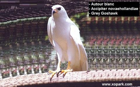 xopark2Autour-blanc—Accipiter-novaehollandiae—Grey-Goshawk