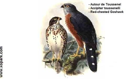 xopark2Autour-de-Toussenel—Accipiter-toussenelii—Red-chested-Goshawk