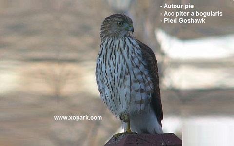 xopark2Autour-pie—Accipiter-albogularis—Pied-Goshawk