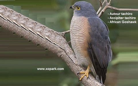 xopark2Autour-tachiro—Accipiter-tachiro—African-Goshawk