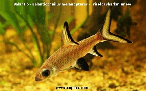 xopark2Balantio—Balantiocheilus-melanopterus—Tricolor-sharkminnow