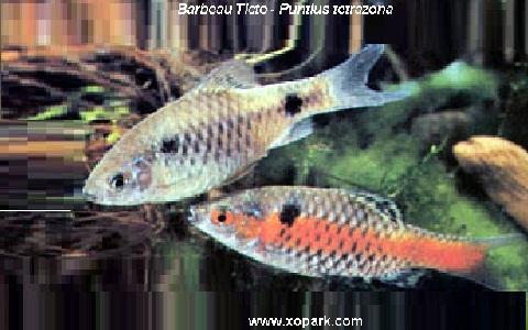 xopark2Barbeau-Ticto—Puntius-tetrazona