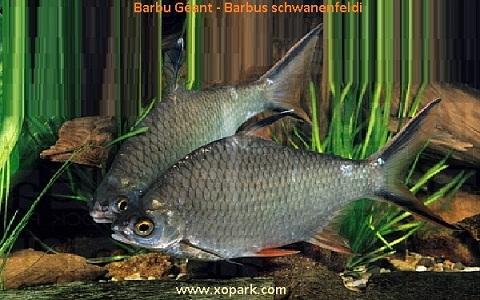 xopark2Barbu-Géant—Barbus-schwanenfeldi—Tinfoil-barb