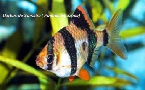 xopark2Barbus-de-Sumatra—Puntius-tetrazona—Tiger-barb