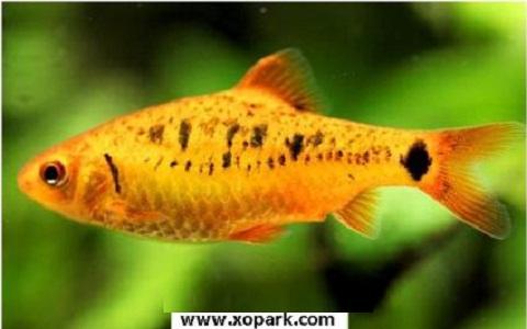 xopark2Barbus-doré—Puntius-semifasciolatus—Chinese-barb