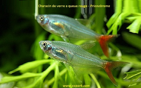 xopark2Characin-de-verre-à-queue-rouge—Prionobrama-filigera—Glass-bloodfin