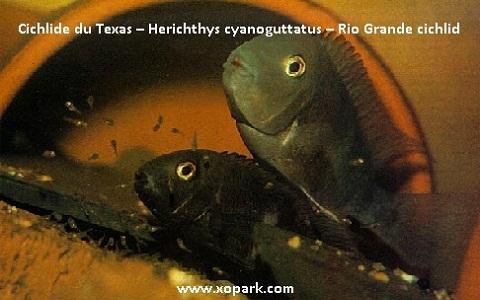xopark2Cichlide-du-Texas—Herichthys-cyanoguttatus—Rio-Grande-cichlid