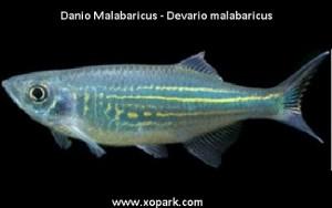 Danio Malabaricus (Malabar danio)