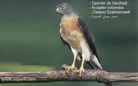 xopark2Epervier-de-Horsfield—Accipiter-soloensis—Chinese-Sparrowhawk
