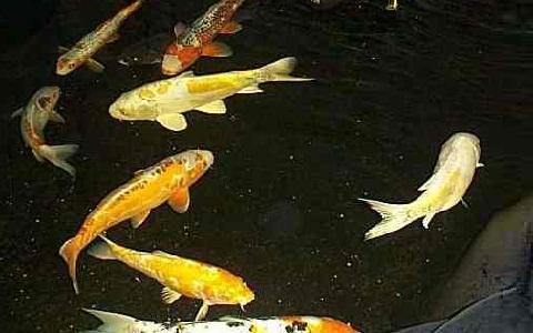 Koi dor mongrel koi poisson d 39 eaux douces for Carpe koi voile