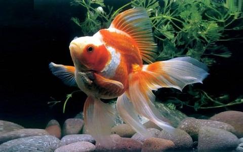 xopark2Ryukin—Ryukin-Goldfish