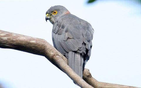 xopark2epervier-à-queue-tachetée—Accipiter-trinotatus—Spot-tailed-Sparrowhawk