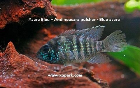 xopark3Acara-Bleu—Andinoacara-pulcher—Blue-acara