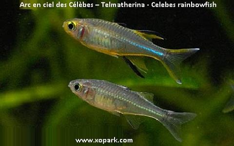 xopark3Arc-en-ciel-des-Célèbes—Telmatherina—Celebes-rainbowfish