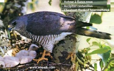 xopark3Autour-à-flancs-roux—Accipiter-castanilius—Chestnut-flanked-Sparrowhawk