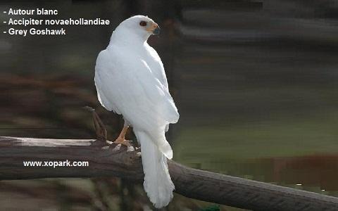xopark3Autour-blanc—Accipiter-novaehollandiae—Grey-Goshawk