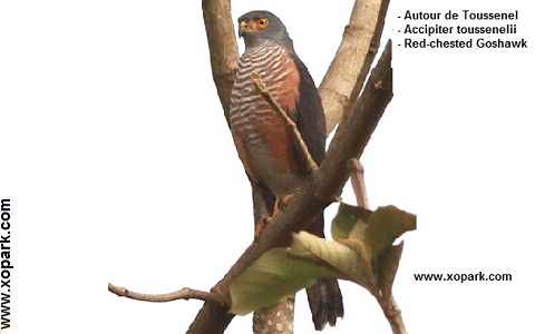 xopark3Autour-de-Toussenel—Accipiter-toussenelii—Red-chested-Goshawk