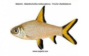Balantio (Melanopterus Bala Shark Balantiocheilus)
