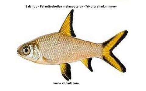xopark3Balantio—Balantiocheilus-melanopterus—Tricolor-sharkminnow