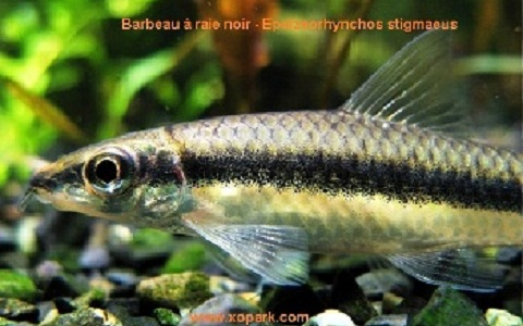 xopark3Barbeau-à-raie-noir—siamese-algae-eater-lg