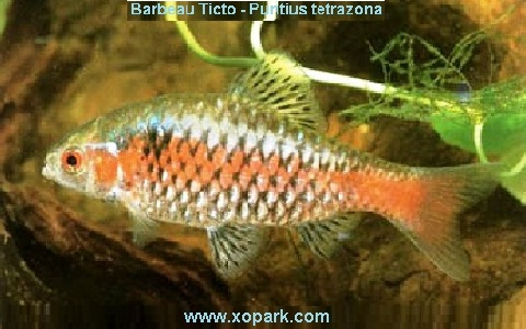 xopark3Barbeau-Ticto—Puntius-tetrazona