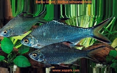 xopark3Barbu-Géant—Barbus-schwanenfeldi—Tinfoil-barb