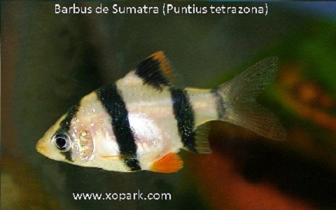 xopark3Barbus-de-Sumatra—Puntius-tetrazona—Tiger-barb