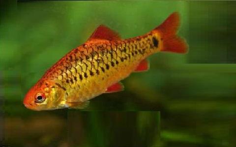 xopark3Barbus-doré—Puntius-semifasciolatus—Chinese-barb