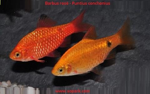 xopark3Barbus-rosé—Barbus-conchonius—Rosy-barb