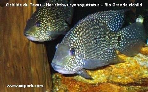 xopark3Cichlide-du-Texas—Herichthys-cyanoguttatus—Rio-Grande-cichlid