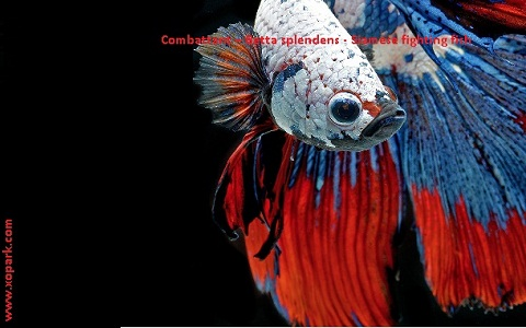 xopark3Combattant—Betta-splendens—Siamese-fighting-fish