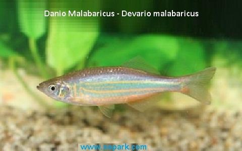 xopark3Danio-Malabaricus—Malabar-danio—Malabar