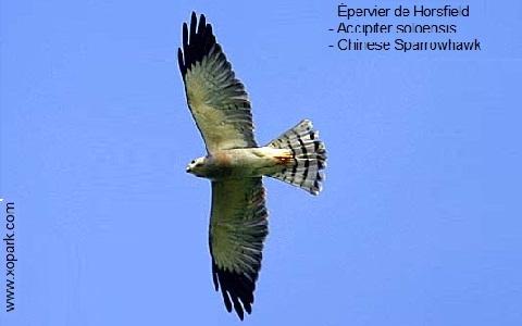 xopark3Epervier-de-Horsfield—Accipiter-soloensis—Chinese-Sparrowhawk
