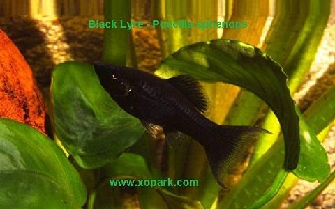 xopark3Molly-noir—Black-Lyre—Poecilia-sphenops