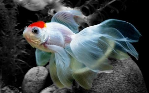 Poisson casque rouge goldfish carassius auratus voile for Nourriture poisson rouge voile de chine