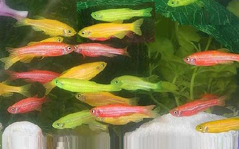 xopark3Poisson-zèbre—Danio-rerio—Zebrafish