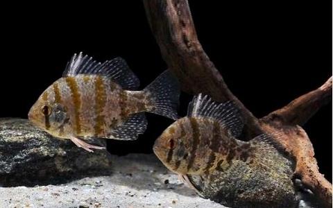xopark3Promotis-à-bandes-noires—Enneacanthus-chaetodon