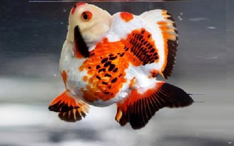 xopark3Ryukin—Ryukin-Goldfish
