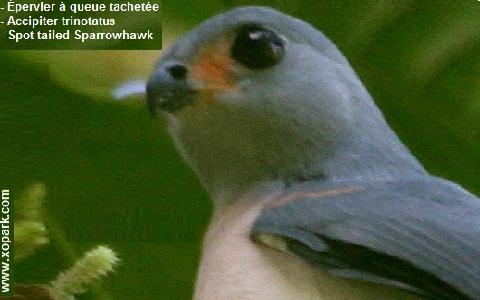 xopark3epervier-à-queue-tachetée—Accipiter-trinotatus—Spot-tailed-Sparrowhawk