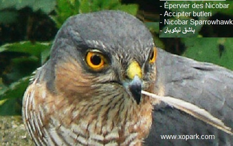 xopark3epervier-des-Nicobar—Accipiter-butleri—Nicobar-Sparrowhawk