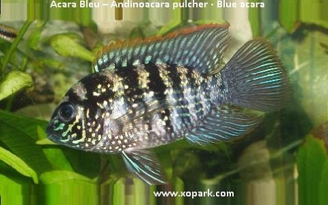 xopark4Acara-Bleu—Andinoacara-pulcher—Blue-acara