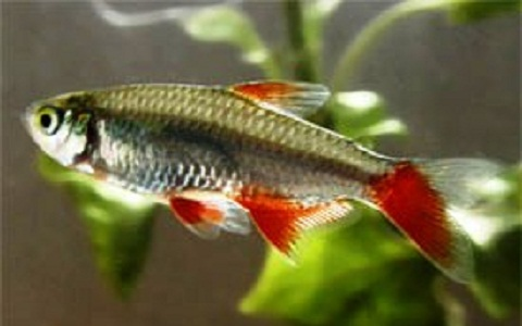 Aphyochrax nageoires rouges bloodfin tetra aphyocharax for Poisson tetra rouge