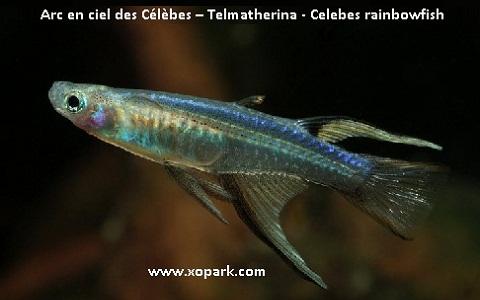 xopark4Arc-en-ciel-des-Célèbes—Telmatherina—Celebes-rainbowfish