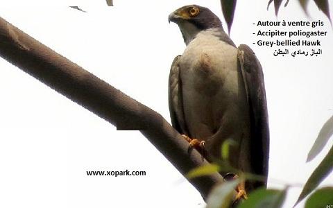 xopark4Autour-à-ventre-gris—Accipiter-poliogaster—Grey-bellied-Hawk