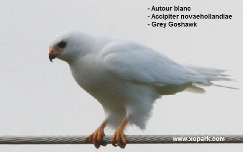 xopark4Autour-blanc—Accipiter-novaehollandiae—Grey-Goshawk