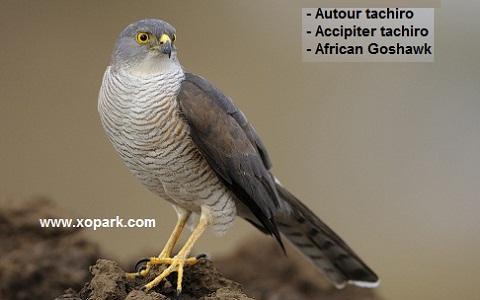 xopark4Autour-tachiro—Accipiter-tachiro—African-Goshawk