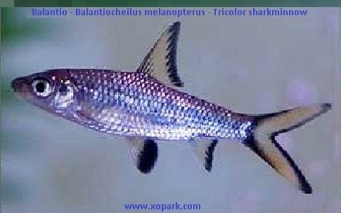 xopark4Balantio—Balantiocheilus-melanopterus—Tricolor-sharkminnow